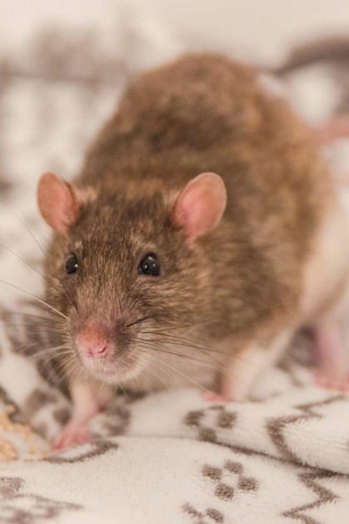 Rat Extermination Cambridge