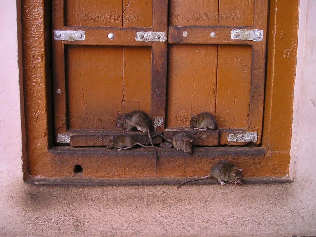 Dangers of Rat Infestation