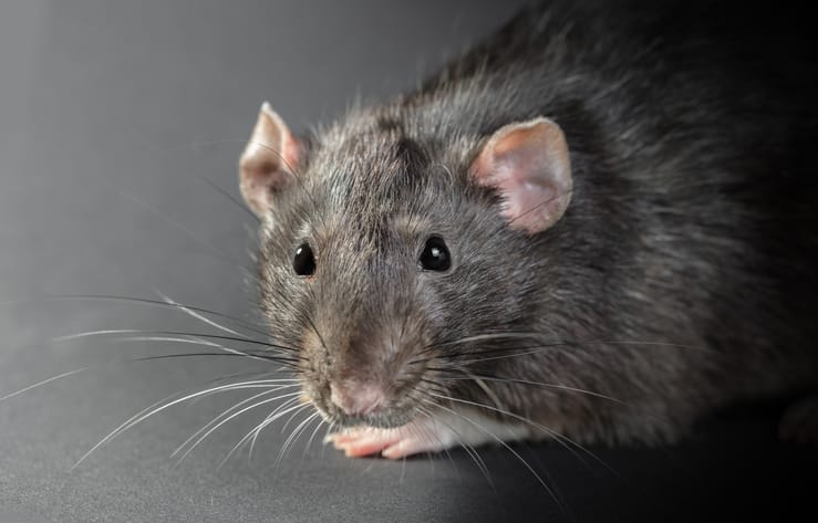 Do We Really Get Sick from Rat Feces Laying Around?