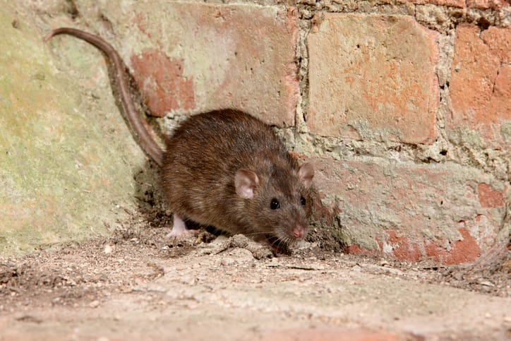 How to Tell the Difference Between Moles and Rat Burrows?