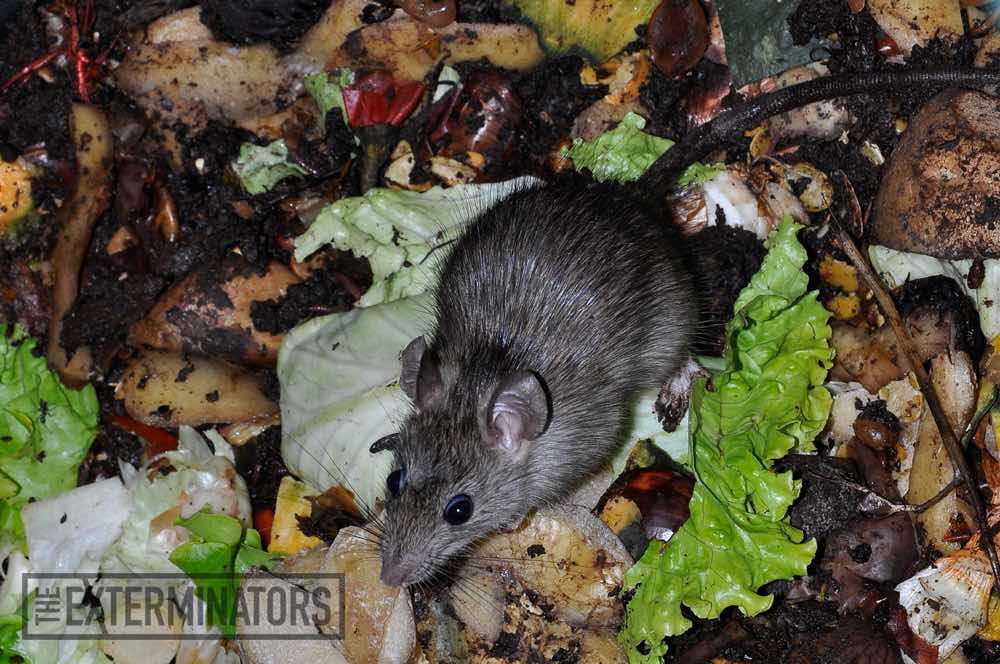 Is There A Difference in Odour Between a Dead Mouse and a Dead Rat?