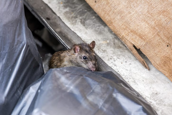 Is There A Smell that Repels Rats?