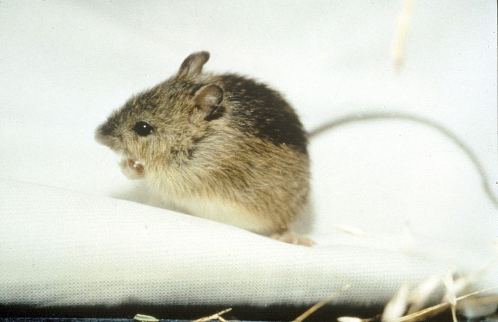 Is There a Difference Between Mouse and Rat Traps?