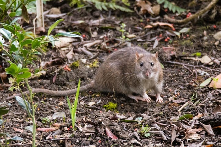 Which Works Better on Rats Bait or Traps