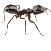 carpenter-ant-control-cambridge