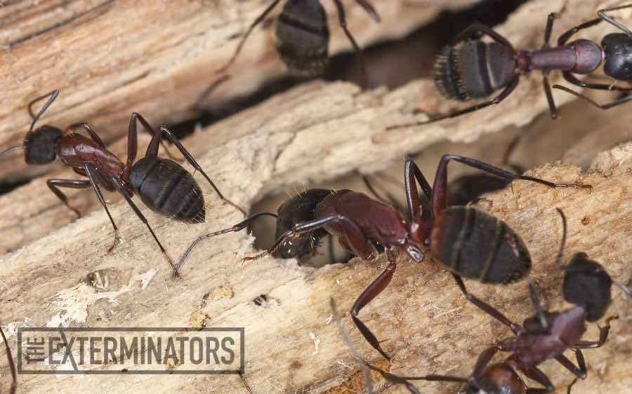 carpenter-ants-exterminator-cambridge