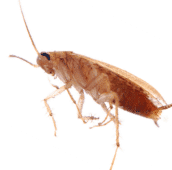 cockroach-control-pest-control-cambridge