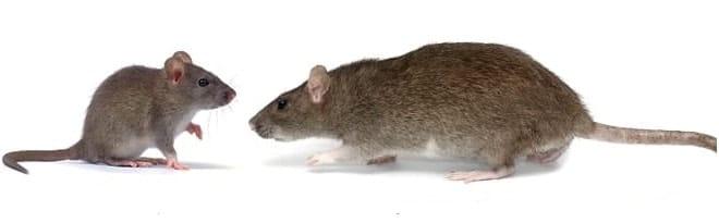 mouse_vs_rat-control-cambridge