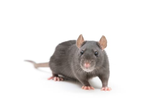 rat-exterminator-hamilton