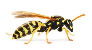 wasp-removal-cambridge