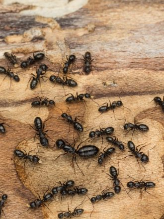 carpenter ants control Cambridge