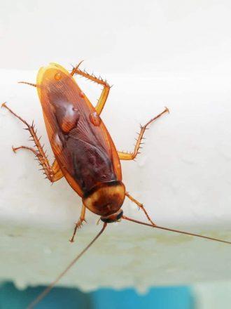 Cockroach Extermination Cambridge